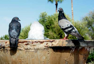 Bird Control Dove Mountain AZ