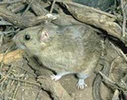 packrat - Thanks to Wikipedia
